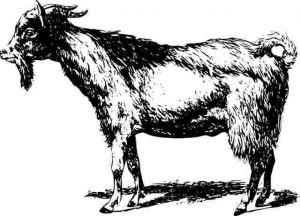 baqra-goat=bakra-300816-#yaALLAHpictures